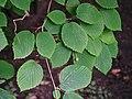 Corylopsis spicata Leszczynowiec kłosowy 2016-07-23 01.jpg