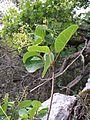 Cotinus coggygria sl1.jpg