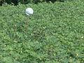 Cotton crop in the field.JPG