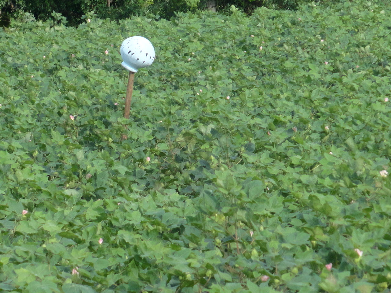 Bt cotton crop at Nagarjuna Sagar. Photo credit: Wikimedia Commons