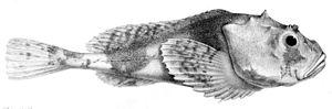 Psychrolutidae - Polar sculpin, Cottunculus microps