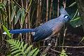 Coua cristata (Hauben-Seidenkuckuck - Crested Coua) - Weltvogelpark Walsrode 2013-09.jpg