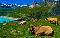 Cows on top of Moiry Dam.jpg