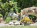 Coyote (28367952533).jpg