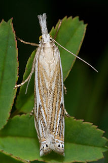 <i>Crambus</i> Genus of moths