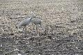 Cranes 1627.jpg