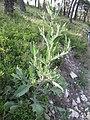 Crepis foetida plant (04).jpg