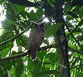 Crested Owl. Lophostrix cristata - Flickr - gailhampshire.jpg