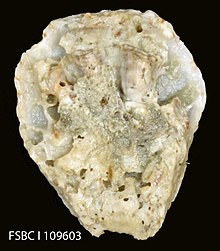 Crested Oyster (11407193563).jpg