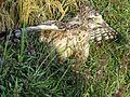 Crested Serpent Eagle - Juvenile.jpg
