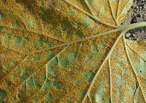 Cronartium ribicola - Cronartium ribicola on Ribes sp.