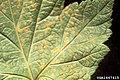 Cronartium ribicola Ribes uredinia (02).jpg