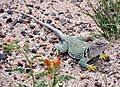 Crotaphytus collaris -Petrified Forest National Park, Arizona, USA-8.jpg