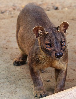 The fossa has a cat-like appearance, resembling a small cougar. Cryptoprocta ferox.jpg