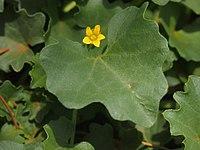 Cucumis maderaspatanus flower.jpg