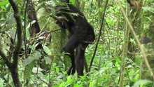 File:Cultural-differences-in-ant-dipping-tool-length-between-neighbouring-chimpanzee-communities-at-srep12456-s2.ogv