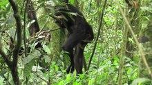 Arquivo: diferenças culturais-em-formigas-ferramenta-comprimento-entre-comunidades vizinhas de chimpanzés em srep12456-s2.ogv