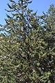 Cupressus nevadensis Hobo Ridge Grove (45) - Flickr - theforestprimeval.jpg