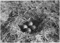 Curlew and nest with four eggs. Valentine NWR, Nebraska - NARA - 283855.tif