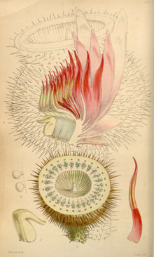 Curtis's Botanical Magazine, Plate 4278 (Volume 73, 1847).png