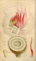 Curtis's Botanical Magazine, Plate 4278 (Volume 73, 1847).png