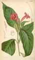 Curtis's Botanical Magazine, Plate 4298 (Volume 73, 1847).png