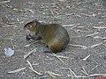 Cutia, animal do gênero Dasyprocta, com várias espécies. São mamíferos roedores de pequeno porte, medindo entre 49 e 64 centímetros. Sete espécies de cutia são encontradas em território brasileiro. - panoramio.jpg