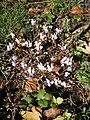 Cyclamen hederifolium RHu 002.JPG