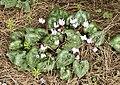 Cyclamen persicum - Persian cyclamen, Flowers 01.jpg