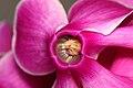 Cyclamen persicum flower2.JPG