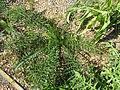 Cynara humilis white (14000429029) (2).jpg
