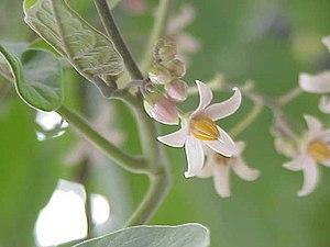 Tamarillo - Flower cluster