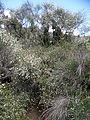 Cytisus filipes kz1.JPG
