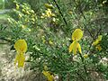 Cytisus scoparius, Mialy Mezyk way.JPG