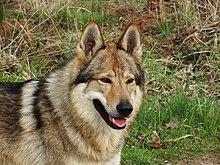 Cane Lupo Cecoslovacco Wikipedia