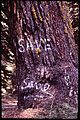 DISCOVERY OF A GOLDEN EAGLE'S NEST IN THIS TREE PROMPTED THE SOUTHERN CALIFORNIA EDISON COMPANY TO TEMPORARILY HALT... - NARA - 542715.jpg