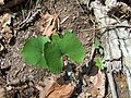 DO - Bloodroot 4-24-04 (4072461084).jpg