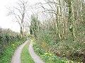Daffodil-fringed driveway on the northern slopes of Mynydd Llwydiarth - geograph.org.uk - 959341.jpg
