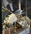 Daim européen (Dama dama) GLAM 2016-Muséum d'histoire naturelle de Lille 2.jpg
