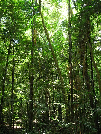 Tree - The Daintree Rainforest