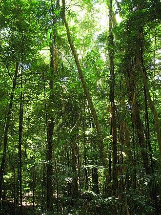 Tree - The Daintree Rainforest