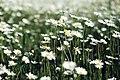 Daisy 1 (Unsplash).jpg