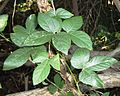 Dalechampia scandens var natalensis, Burmanbos.jpg