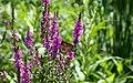 Danaus plexippus, monarch butterfly.jpg