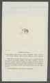 Daphnia reticulata - - Print - Iconographia Zoologica - Special Collections University of Amsterdam - UBAINV0274 099 06 0011.tif