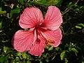 Dasavala-Hibiscus.jpg