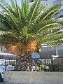 Date palm in Vlorë - panoramio.jpg
