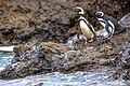 Day trip from Puerto Varas to Isla Grande de Chiloe - a visit and boat trip to Pinguinera Isloto de Punihuil on the open Ocean - mostly Magellanic Penguins (Spheniscus magellanicus) - (25158873606).jpg