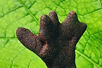 Dead man's fingers Xylaria polymorpha.jpg