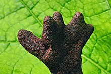Dead man's fingers Xylaria polymorpha.jpg